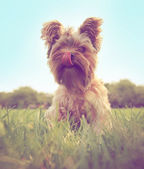 Yorkshire terrier sitting in grass — Stock Photo