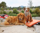 A pair of dogs enjoying the outdoors — Stock Photo
