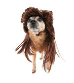 A chihuahua with a wig on — Stock Photo