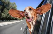 A basset hound in a car — Stock Photo