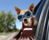 A chihuahua in a car — Stock Photo