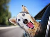A funny husky wolf mix with her head — Stockfoto