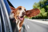 Basset hound riding in car — Stok fotoğraf