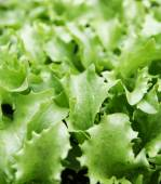 Green fresh lettuce — Stock Photo