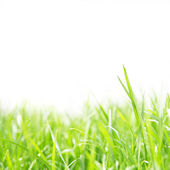 Fresh green grass lawn on white background — Zdjęcie stockowe