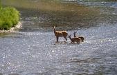 Deer mother and  babies standing in creek — Stock Photo