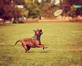 Dog playing with frisbee at park — Stock Photo