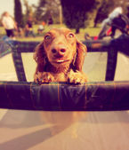 Dog in play pen — Stock Photo