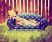 Chihuahua with crown on couch — Foto Stock