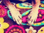 Chihuahua paws on paisley blanket — Stock Photo