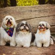 Three white mixed breed dogs — Stock Photo #59131127