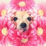 Chihuahua with flowers around head — Stock Photo #59132161