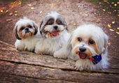 Three white mixed breed dogs — Stok fotoğraf