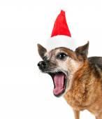 Chihuahua with santa hat — Stock Photo