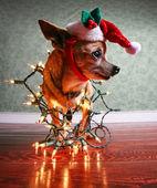 Chihuahua dog in santa hat — Stock Photo