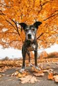 Senior pit bull in park — Stock Photo