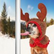 Chihuahua licking a frozen pole — Stock Photo #61016269