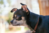 Chihuahua looking in a window — Stock Photo