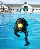 Cachorro se divertindo na piscina — Fotografia Stock