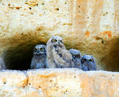 Great horned owl babies — Stock Photo