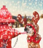 Chihuahua licking a frozen hydrant — Foto de Stock