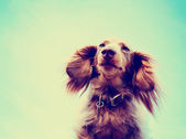 Miniature long haired dachshund — Stock Photo