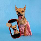 Cute chihuahua taking selfie — Stock Photo