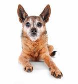 Chihuahua on white background — Stock Photo
