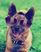 Chihuahua terrier mix with sunglasses — Stock Photo