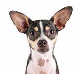 Cute rat terrier chihuahua mix — Stock Photo