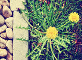 Dandelion along a landscaped walkway — Stock Photo