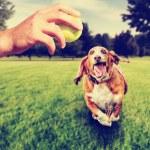 Постер, плакат: Basset hound running to catch ball
