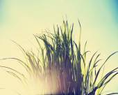 Grass blooming over a clear sky — Stock Photo