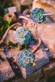 Blooming succulent plant, Echeveria — Stock Photo