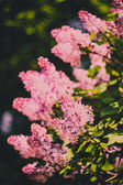 Branch of purple lilac flowers (Syringa vulgaris) — Stock Photo