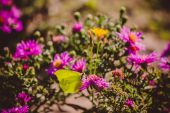 Butterfly On Asters — Stock Photo