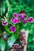 Orchid Zygopetalum — Stock Photo