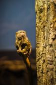 The pygmy marmoset (Cebuella pygmaea) — Stock Photo