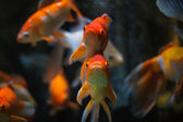 Gold Fish in aquarium. — Stock Photo