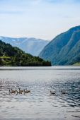 Wild geese in the Norwegian fjord — Stock Photo