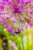Bumblebee collecting nectar on Allium flower — Stock Photo