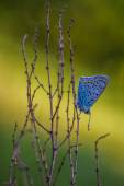 Butterfly Lycaenidae sitting on a plant — Stock Photo