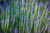 Blue lavender flowerbed — Stock Photo