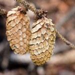 Pine cones — Stock Photo #56473519