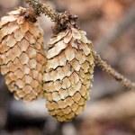 Pine cones — Stock Photo #56473555