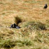 Young Jackdaws — Stock Photo
