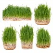 Sprouts of green wheat — Stock Photo #65239655