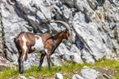 Goat in alp — Stock Photo