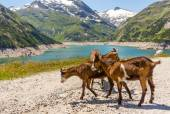 Brown goats — Stock Photo