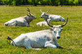 Hungarian gray cattle — Stock Photo